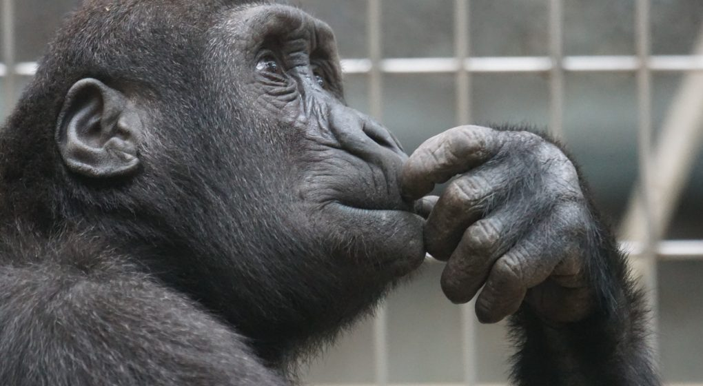 Image of a Thinking Ape